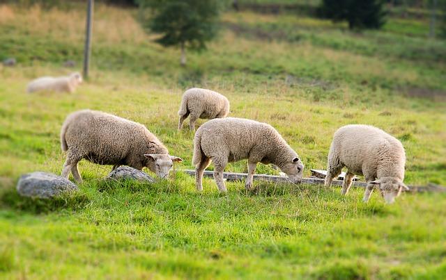Wyjątkowe zastosowania skór owczych